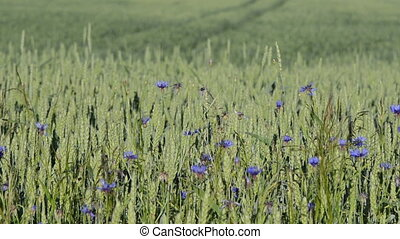 cornflower wheat field