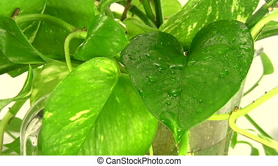 Plant leaves sprayed with water.