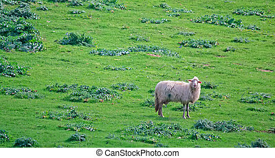 alone in the green - one sheep bleating in a green field