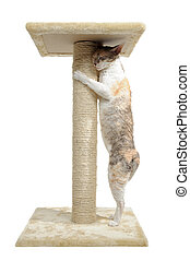 Cornish Rex Cat and Scratching Post Isolated on White...