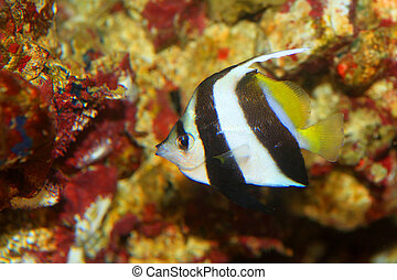 Pennant coralfish (Heniochus acuminatus) in Japan