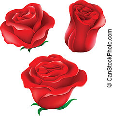 Red roses - Illustration of the red roses on a white...