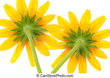 Two Yellow Coneflowers