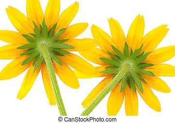 Two Yellow Coneflowers