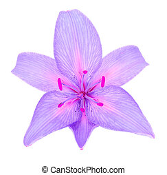 Beautiful Purple Lily - A beautiful purple lily isolated on...