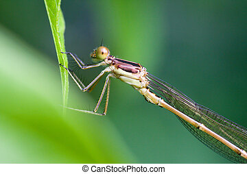 Female Common Blue Damselfly - These little dragonflies are...