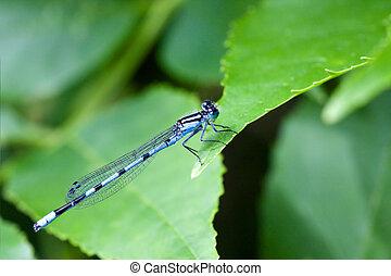 Common Blue Damselfly 1 - Common Blue Damselfly with very...