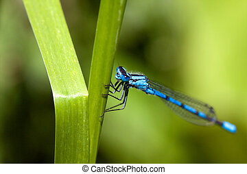 Common Blue Damselfly 2 - Common Blue Damselfly with very...