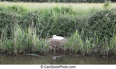 Mother swan on nest by river - Mother swan on nest by reeds...