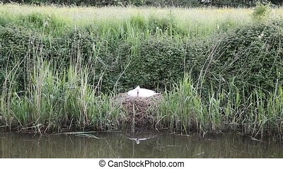 Mother swan nesting by river - Mother swan on nest by reeds...