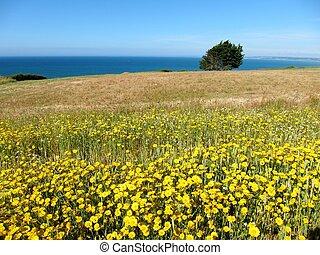 Golden daisy in a field