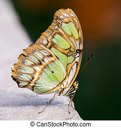Siproeta Stelenes Butterfly - Tropical malachite butterfly...