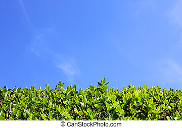 Green hedge and blue sky background - Top of green hedge and...