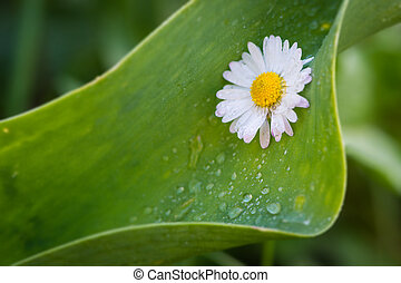 blossom of daisy flower on big green leaf with water drops