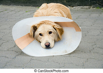 funnel - 	 Convalescent dog with funnel after surgery