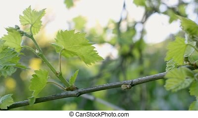 Branch of grapes.