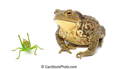 Frog and Grasshopper Isolated on White Background