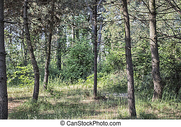 Pinewood forest on Italian countryside