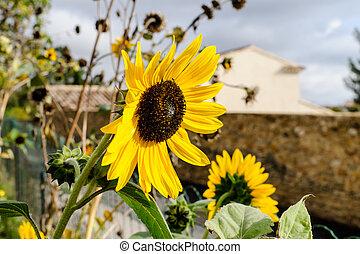 Sun flower - Sunny day, Sun flower