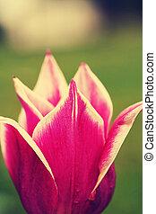 Tulipa quot;Balladequot;, retro filter effect - Tulipa...