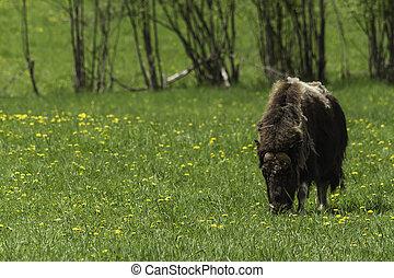Muskox in a field
