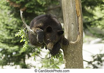 Black Bear in a tree