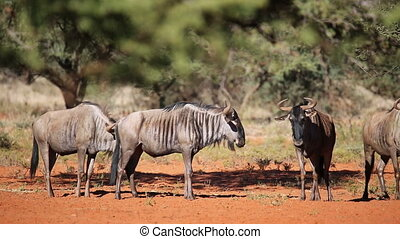 Blue wildebeest - Blue wildebeest (Connochaetes taurinus)...