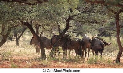 Blue wildebeest (Connochaetes taurinus) in the African bush,...