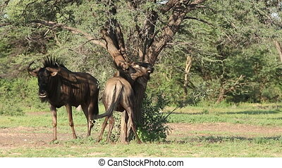 Blue wildebeest rubbing - Blue wildebeest Connochaetes...