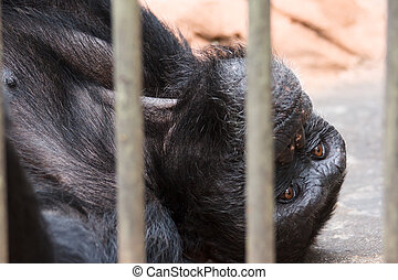 Sad chimpanzee  in cage (animal in a zoo)