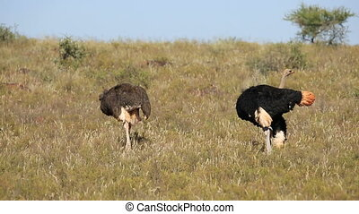 Ostriches - Male and female ostriches (Struthio camelus) in...