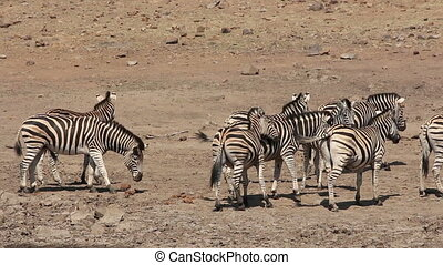 Plains zebras interacting - Herd of plains (Burchells)...