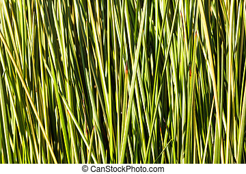 green sedge background - green sedge , reed background...
