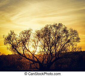 sun on a tree - Spring sunset on wood background backlit...