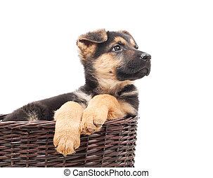 Shepherd puppy looking away sitting in a wicker straw basket...