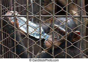 chimpanzee drinking bottle of water in cage - chimpanzee...