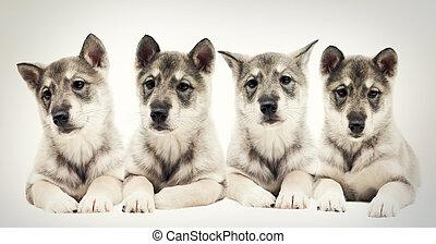 Brood puppies