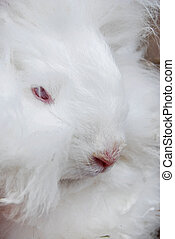 White Rabbit - Close up of a white angora rabbit.