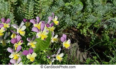 dewy violet flower garden - Dewy wet colorful viola violet...