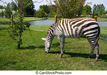 zebra in a zoo