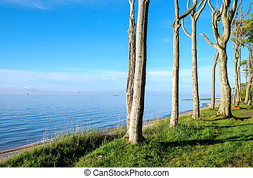 Beech trees at the Baltic Sea
