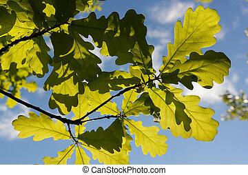 oak leaves in sunlight - Green young oak leaves closeup in...