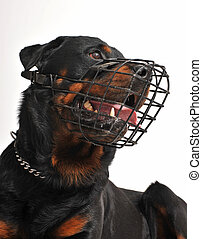rottweiler with muzzle - portrait of a purebred rottweiler...