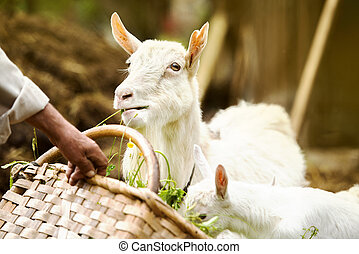 Goat on farm - Dometic white goat eating grass from...