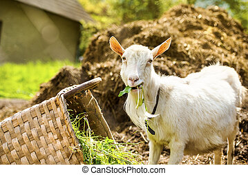 Goat on farm - Dometic white goat eating grass from basket