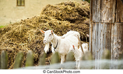 Goat on farm - Dometic white goat eating dry straw on farm