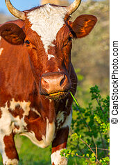 Fiery red cow eats the grass