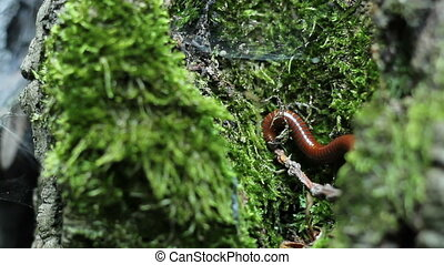 Milipede on Tree - Milipede insect on thick moss on tree...