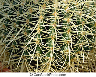 cactus - beautiful little cactus with its large spines