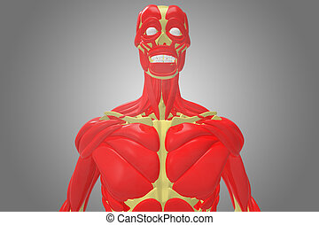 human skeleton with chest muscle - The human musculoskeletal...